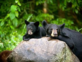 Американские чёрные медведи и Заповедник Винса Шьюта (in russian)
