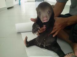 Little Bear Cub(Free the Bears Fund)