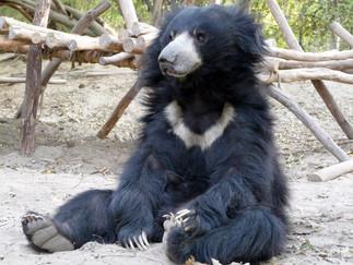 Wildlife SOS и медведи Индии