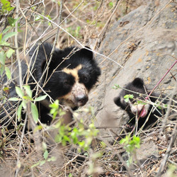 A Mum and cub entangled in the dry fores
