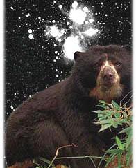 Очковый медведь в культуре народов Южной Америки