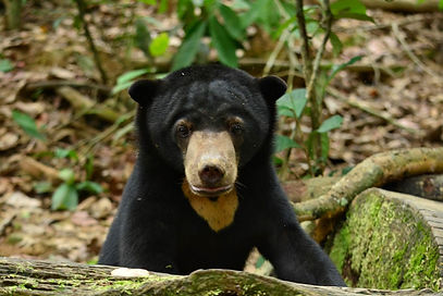 Tan-Tan. Bornean Sun Bear Conservation Centre