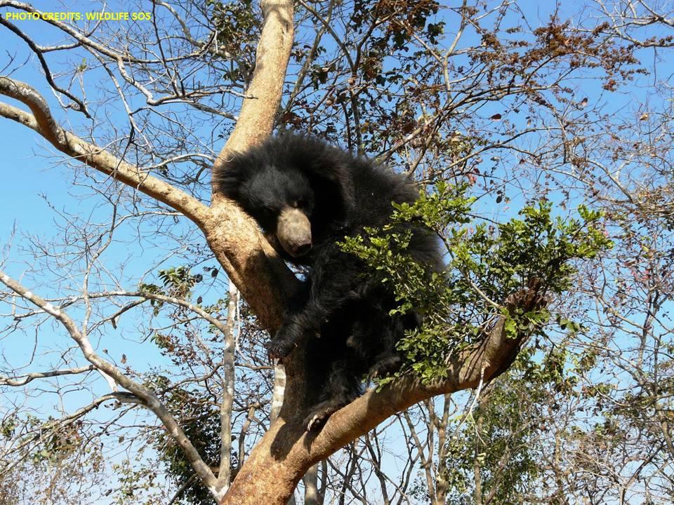 Akash bear