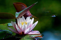 water-lily-4310676_640.jpg