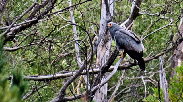 Bird African Harrier-Hawk 001.JPG