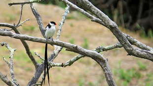 Bird Pin-Tailed Whydah 009.JPG