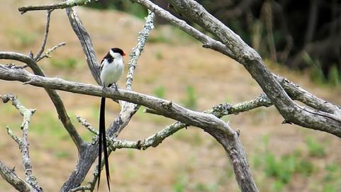 Bird Pin-Tailed Whydah 009.JPG