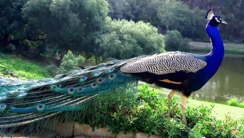 Bird Peacock 017.JPG