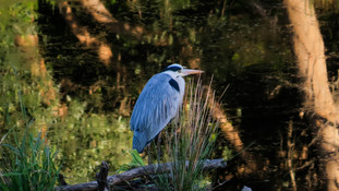 Bird Grey Heron 001.jpg