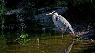 Bird Grey Heron 002.jpg