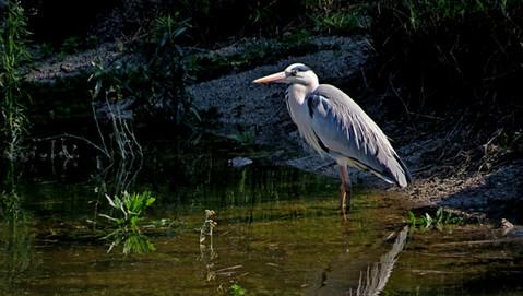 Bird Grey Heron 002.jpg