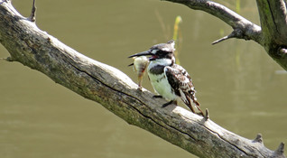 Bird Pied Kingfisher 007.JPG