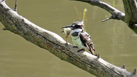 Bird Pied Kingfisher 007.JPG