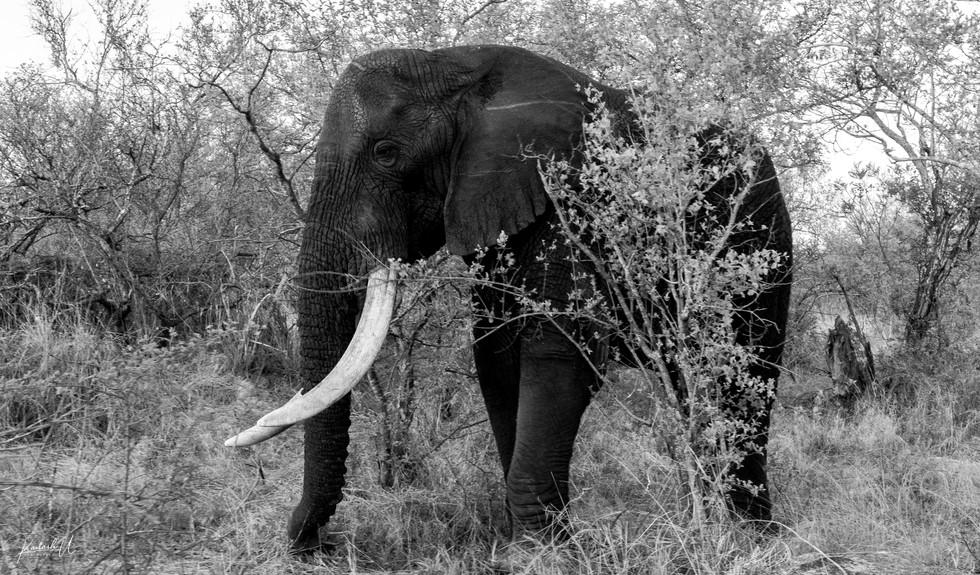 The Big Tusker