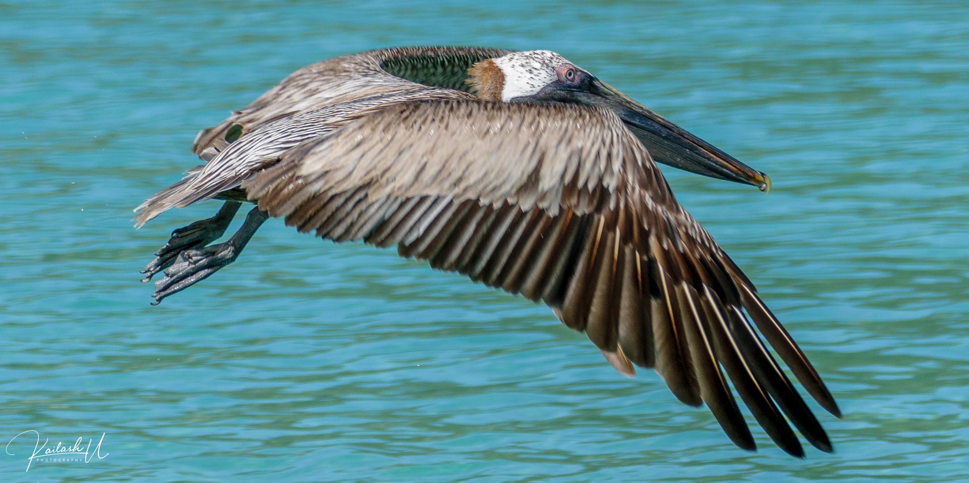 A Pelican going for the kill in Magen's Bay, U.S. Virgin Islands
