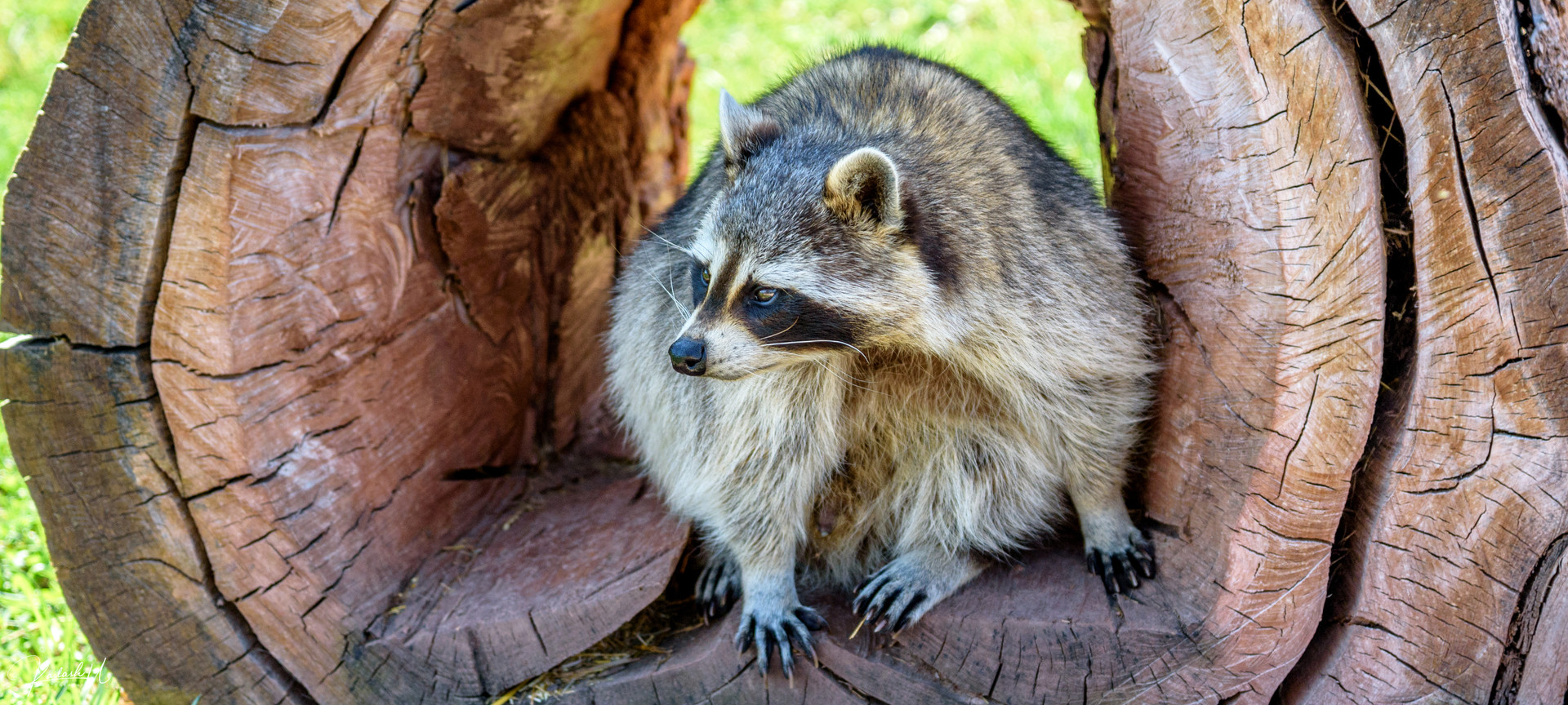 Racoon in South Dakota