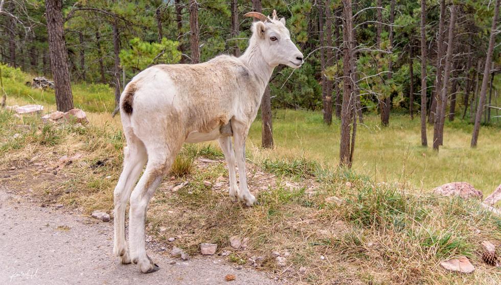 Goat in South Dakota