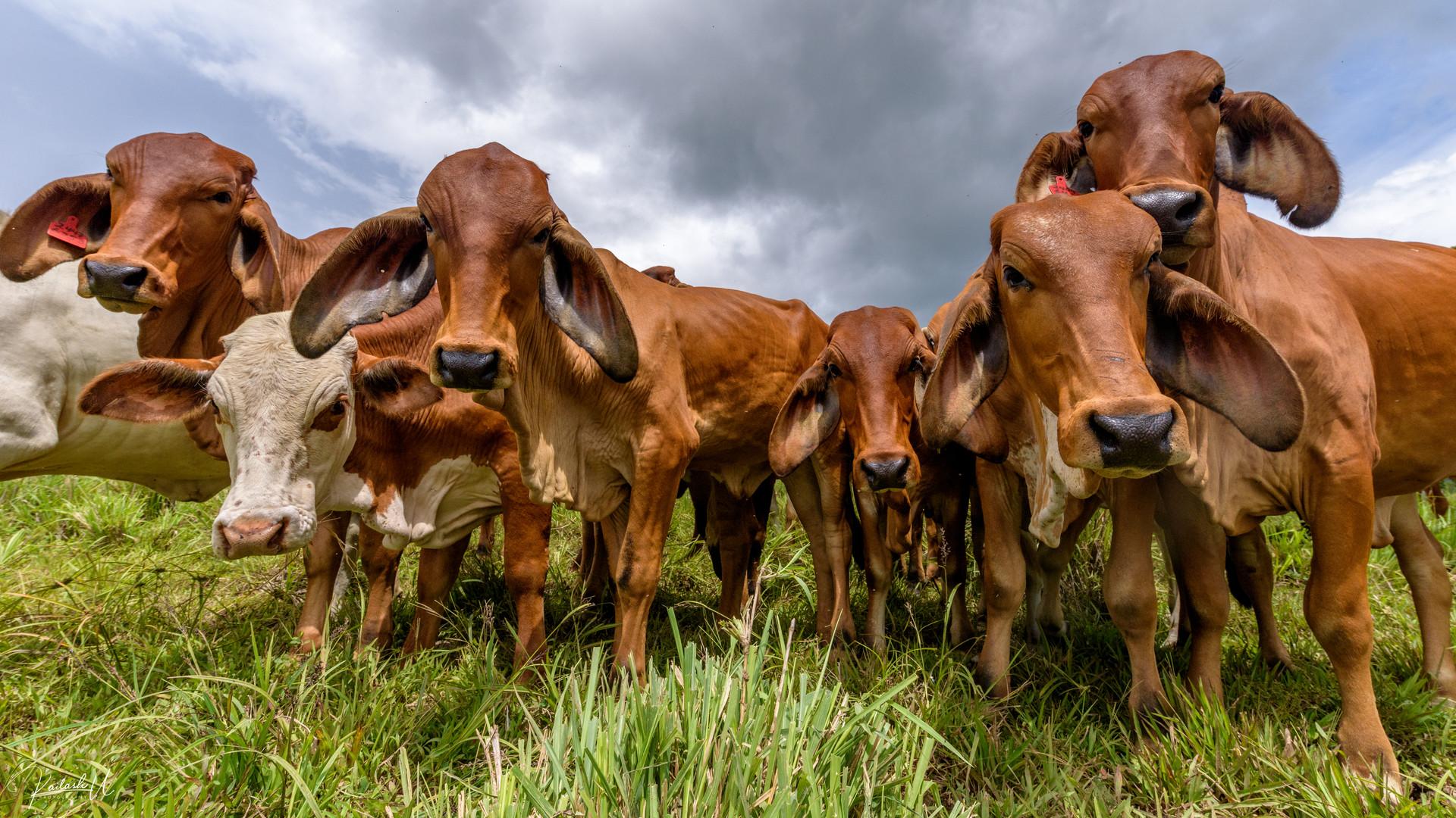 The Herd, Costa Rica