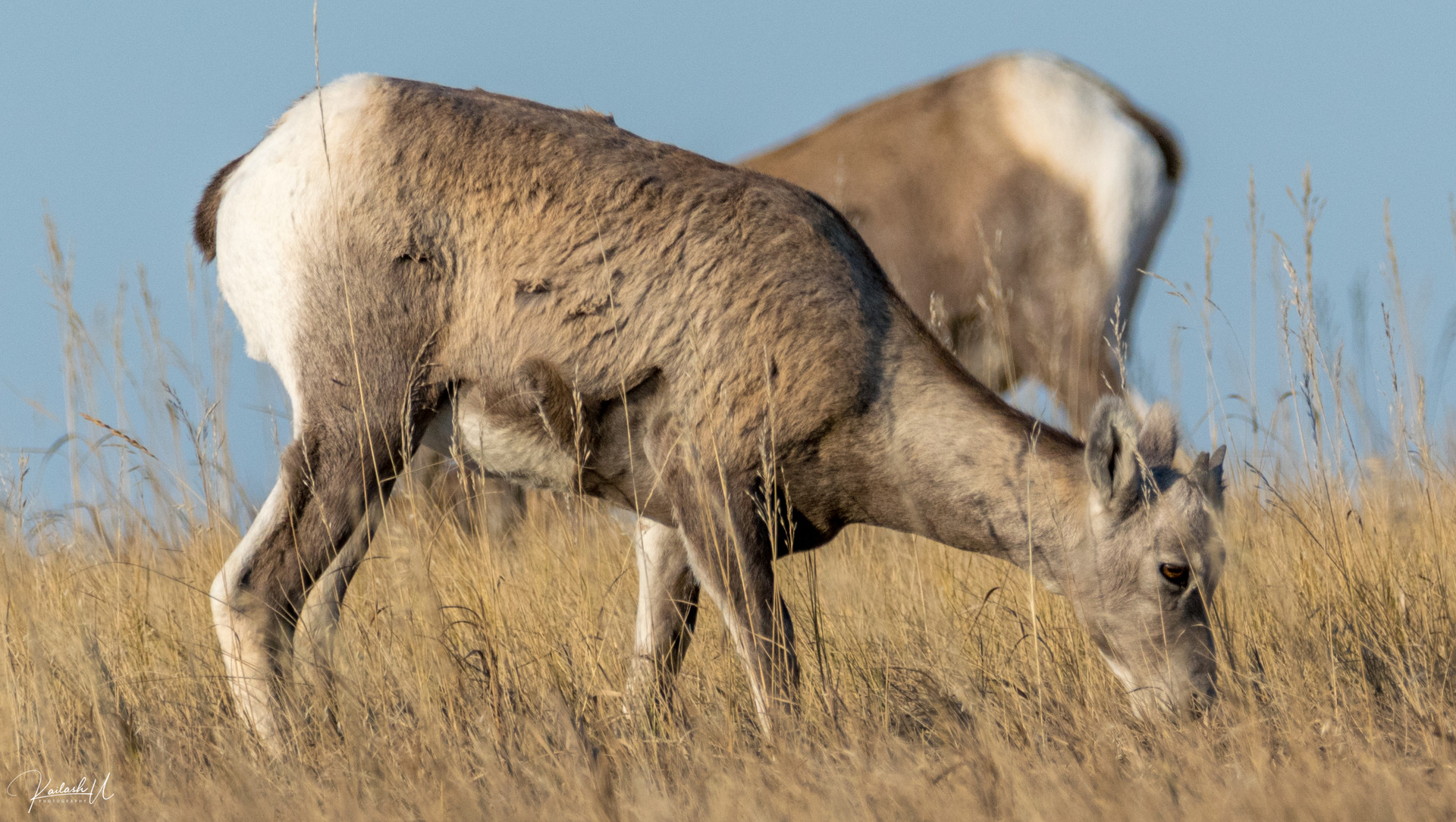 Badlands Goat