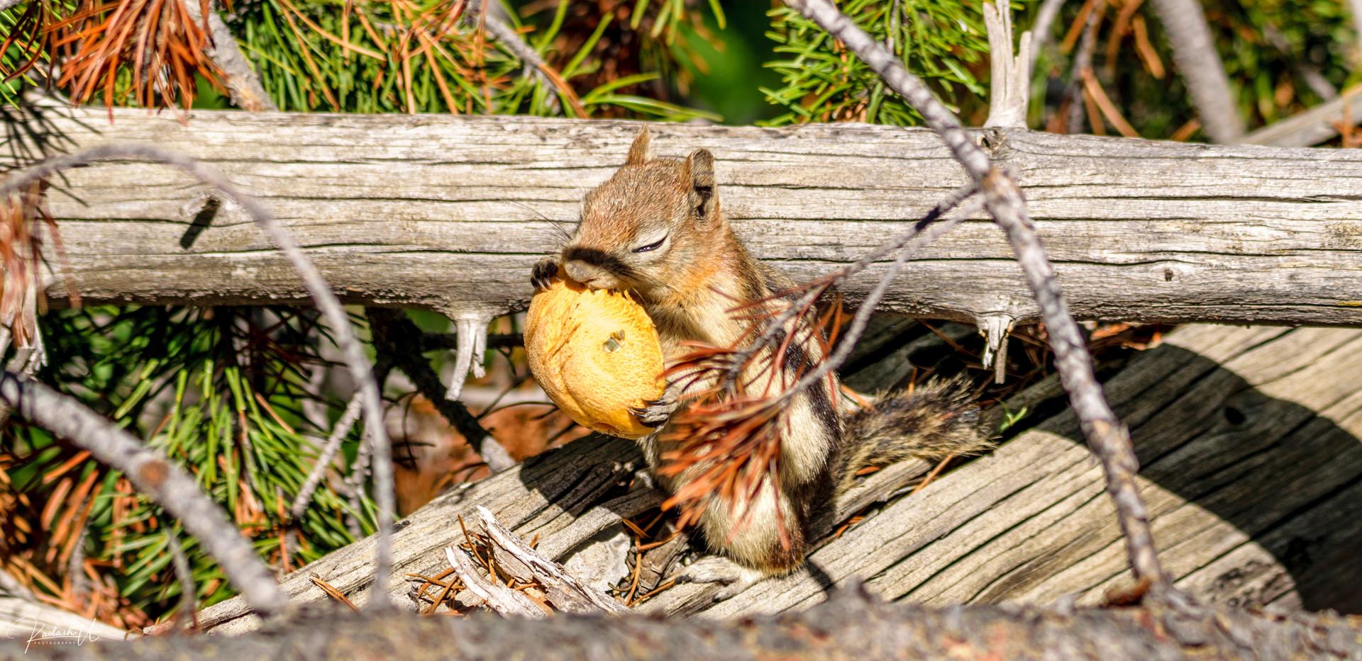 Chipmunk, Yellowstone National Park