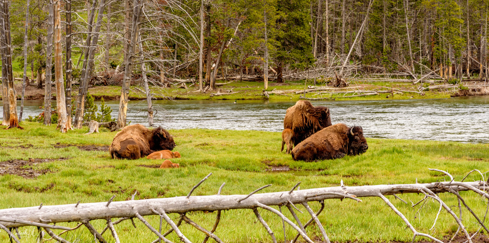 The Gathering of the Young and the Old, Yellowstone National Park