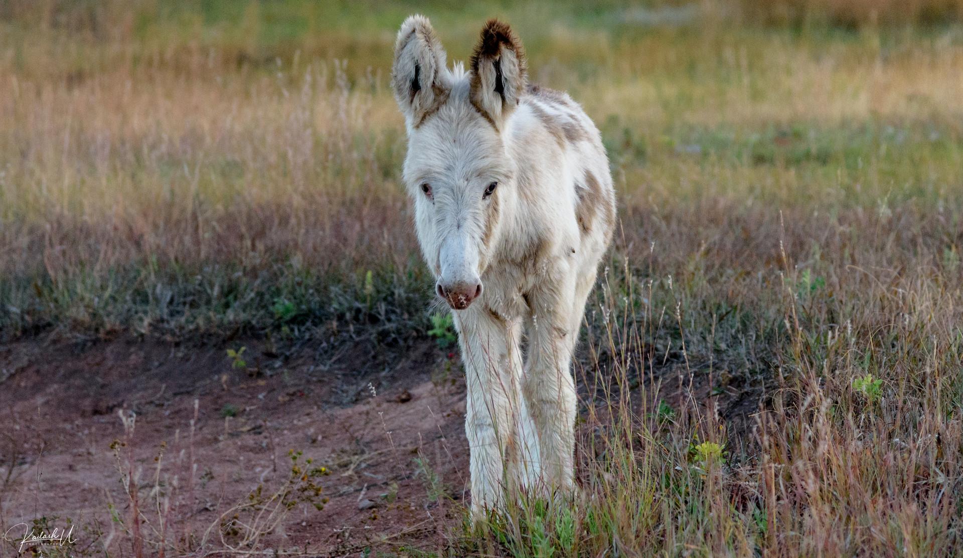 Wild Mule in South Dakota