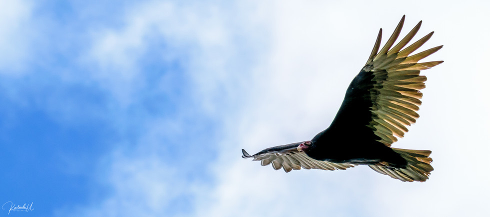 Turkey Vulture, McDonald, PA