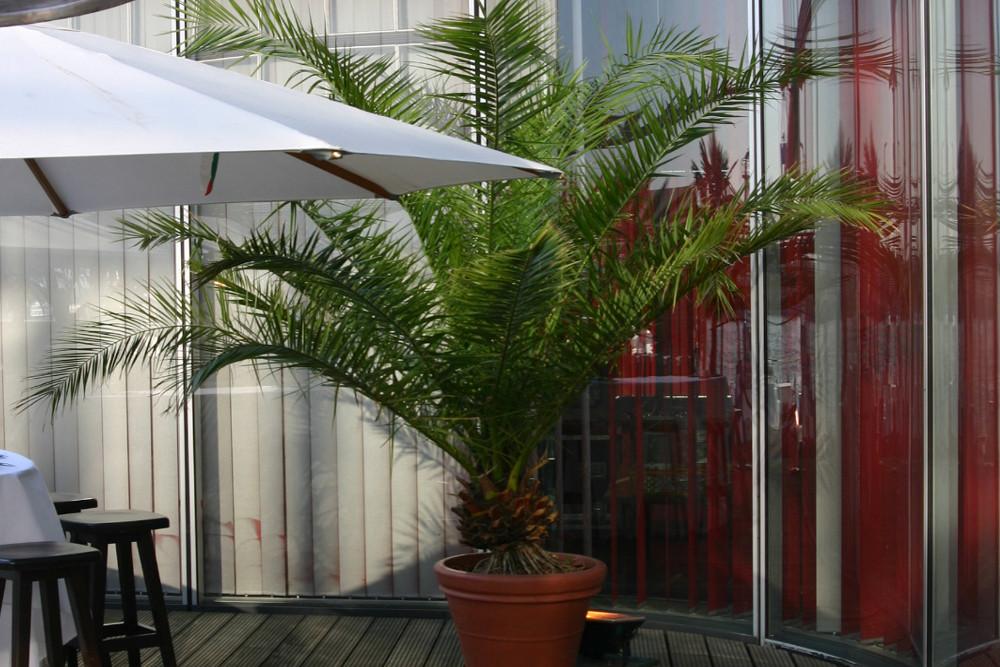 Phönix Palme - 250cm (3).JPG