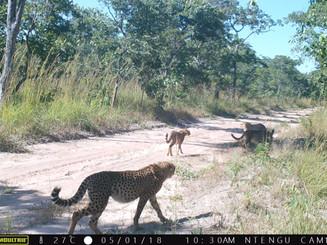 Four Cheetah