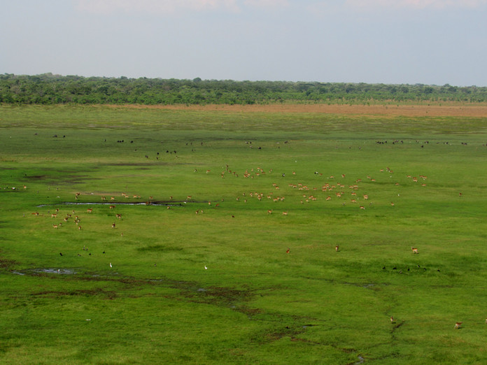 Herds of red lechwe and wildebeest