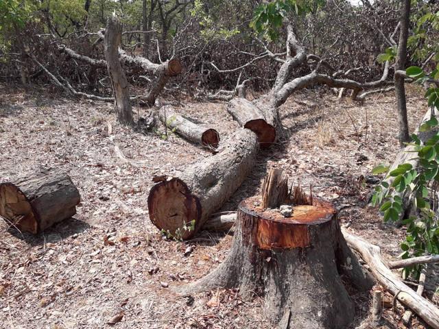 Chopped Mukula trees