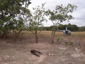 A snared bushbig