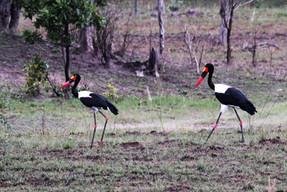 Saddle-billed Storks