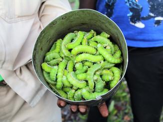 Harvested Caterpillars