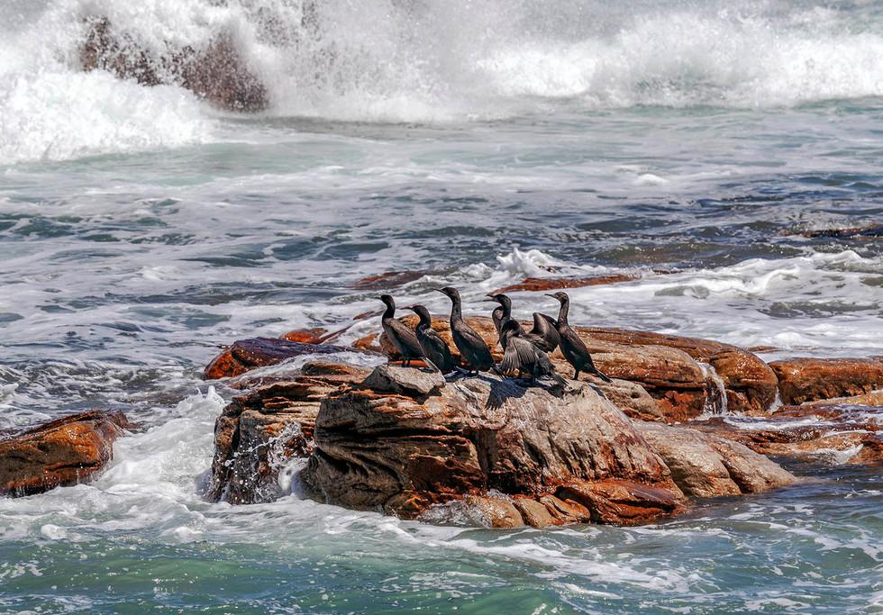 Cormorants at the Cape..jpg