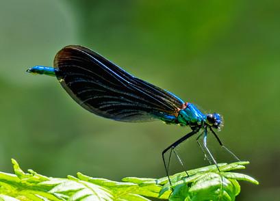 blue demoselle woods-denoise.jpg