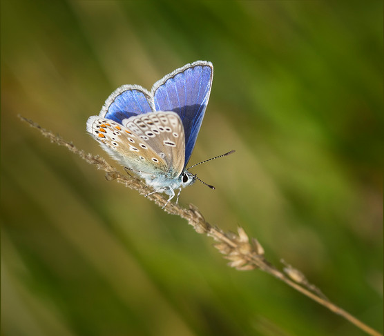 Common Blue Butterfly.jpg