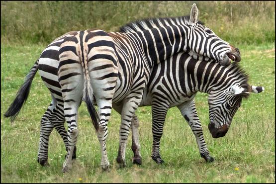 zebras at play.jpg