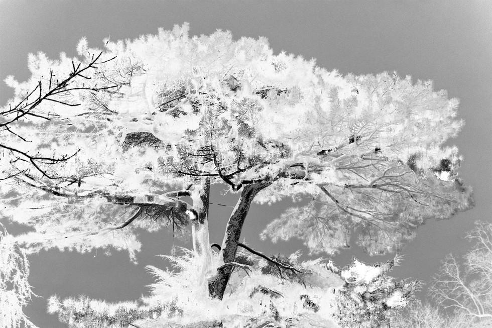 Kew Tree #17B