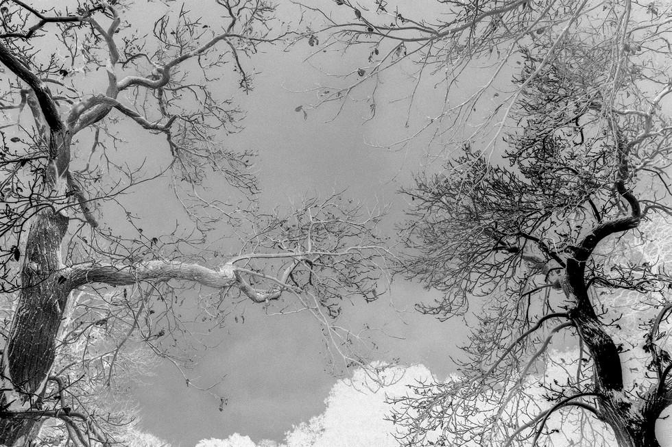 Kew Tree #10B