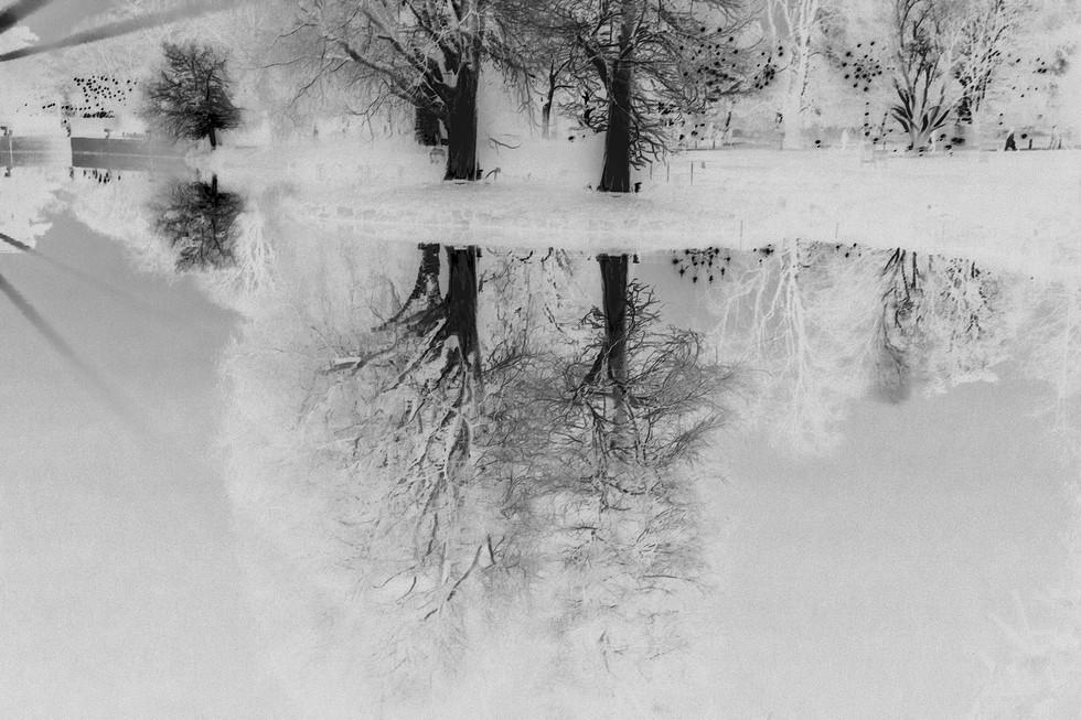 Kew Tree #11