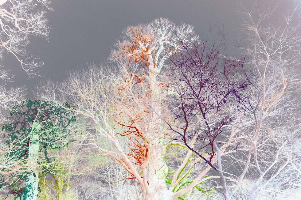 Kew Tree #12