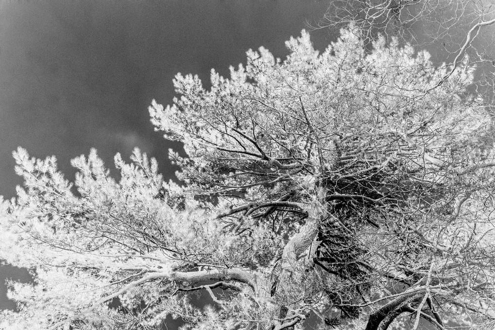 Kew Tree #14B