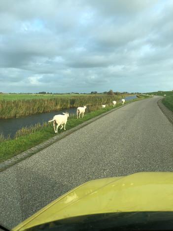 Schapen op de weg, die grazen op de dijk.