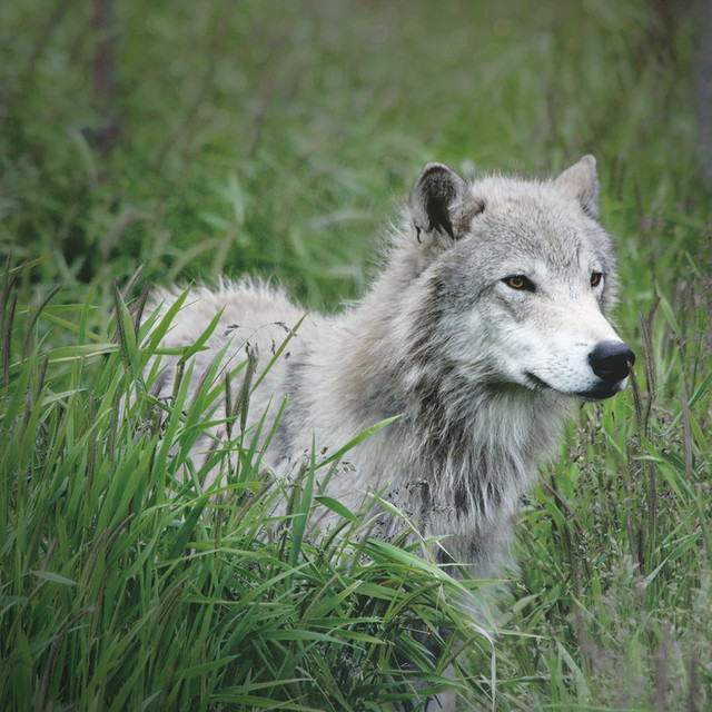 Lone Wolf - Alaska