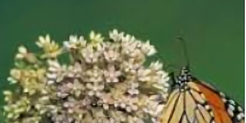"""May Meeting """"Butterfly Bootcamp - Jan Welsh, DNR Specialist"""