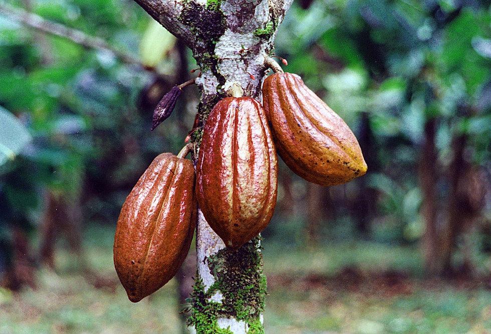 cacao-pods2.jpg