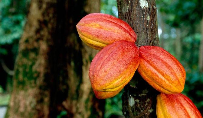cacao-pods.jpg