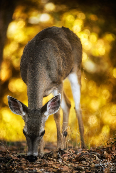 Wildlife photography: northern California deer, doe