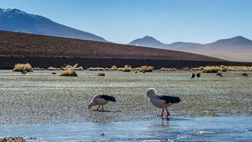 Landscape photography, Atacama desert, Chile, volcanoes, wildlife, birds, machuca lagoons